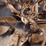 "Image for ""Gender perspective on reindeer herding"""